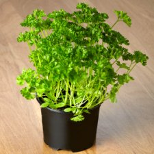 image 2 of Tesco Curled Parsley Medium Pot